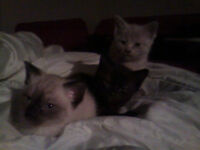 2 month old Kittens . 20$ each