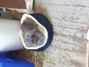 Small grey male lionhead bunny to rehome