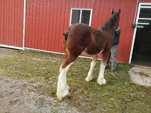 Horse - Clydesdale Stallion Colt