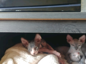 Chatons Sphynx a vendre