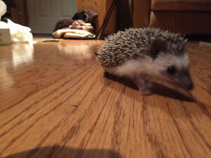 3year old hedgehog looking for good home.