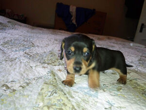 CKC Reg'd Mini Dachshund puppies