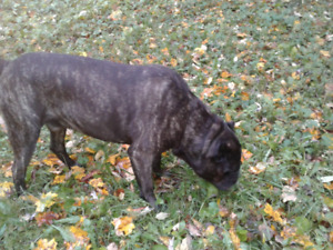 Cane Corso 6 Year Old Male For Sale