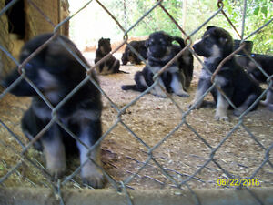 9 King Shepherd puppies for sale!