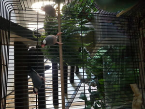 Java Rice Sparrows / Finch