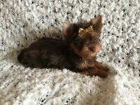 YORKSHIRES MALES TINY TOY CHOCOLAT PARENT ENR 1200.00 et 1700.00