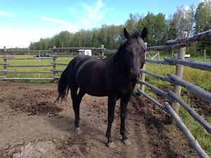 Quarter horse for sale or trade Prince George British Columbia image 1