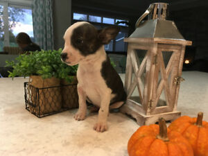 Chihuahua/Boston Terrier Puppies
