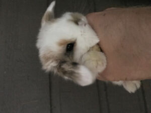 Sweetest Holland Lop bunnies!