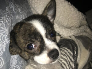 Adorable Chihuahua puppy!!