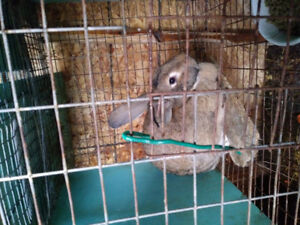 Flemish giant rabbit pair