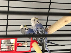 2 Blue Budgies- Cage included