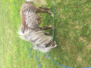 Looking for a mini horse (mare)