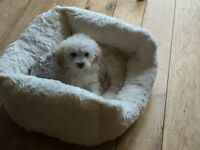 Female Toy Poodle, white with apricot ears. 10 weeks old