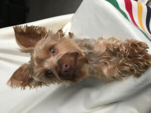 2 year old male yorkie looking for a good home