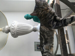 Lost Tabby 9 month old kitten