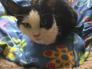"""Domestic short haired female """"MOLLY"""" London Ontario image 2"""