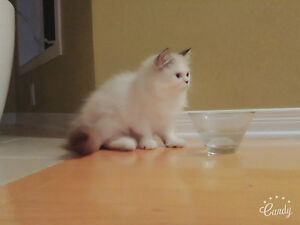 Blue eyed White Persian Kitten West Island Greater Montréal image 2