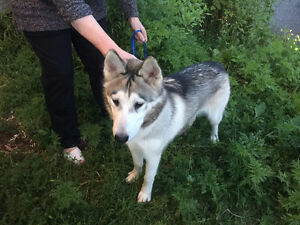 Husky type dog found in Cantley