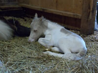 AMHR REGISTERED MINI COLT FOR SALE - VERY SWEET