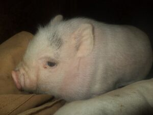 Cute baby pot belly pigs 5 girls and 2 boys Kitchener / Waterloo Kitchener Area image 7
