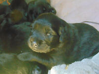 Black Lab Pups born July 5th