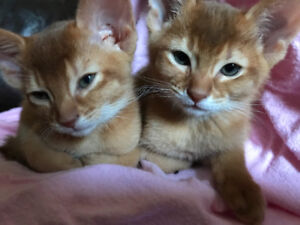 Adorables Chatons Abyssins