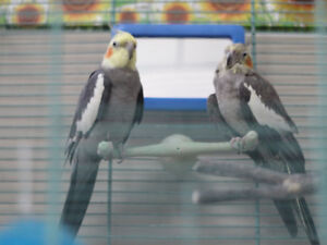 Two beautiful cockatiels looking for a new home