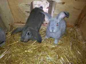 Rabbits for sale.