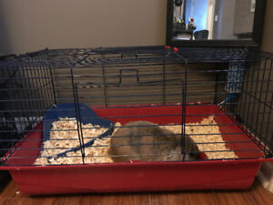Holland Lop Ear For Sale