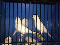 Lots show quality canaries Mulles and finches for sale