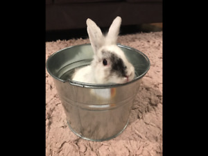 Two Sweet Lionhead Bunnies Available For Adoption!
