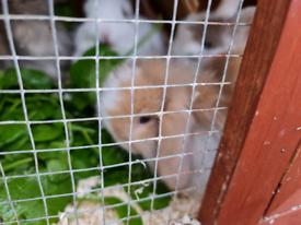 Baby mini lop rabbits for sale