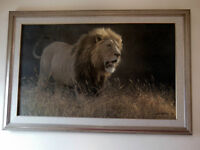"Robert Bateman Huge Canvas - ""Into the Light - Lion"""
