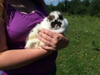 Holland lop bunnies and many cages