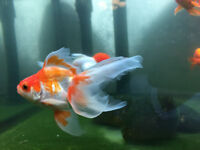 dressed dancer under water!beautiful goldfish for sell!