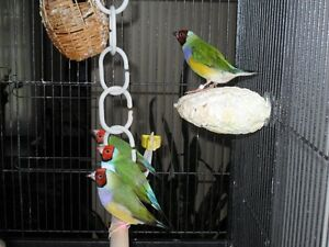 Year old Gouldian Finches