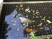 Japanese koi, and large carp for sale