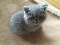 Pure Blue Exotic female kitten for sale