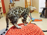 TOP QUALITY TICA REGISTERED BENGAL BOY READY TO GO