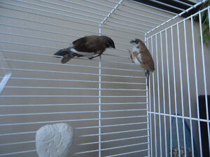 2 SOCIETY FINCHES M/F WITH CAGE.... PINSONS JAPONAIS AVEC CAGE