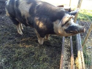 Breeding pair and pigs for sale