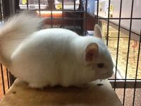 WE HAVE BABY CHINCHILLAS!!!!