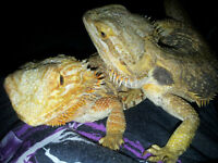 2 Female Bearded Dragons With complete setup