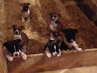 Boston Terrier X Jack Russell Terrier Puppies!!!