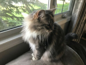 Maine Coon | Kijiji in British Columbia  - Buy, Sell & Save