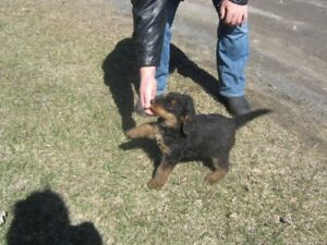 Airedale terrier chiots