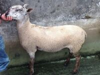 Blue Leicester shearling Rams for sale