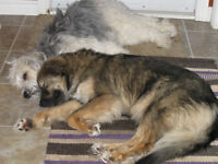 Two senior female dogs for sale