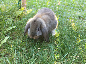 Beautiful baby lop bunnies for sale
